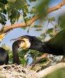 Great Cormorants. Photo: Kim Biledgaard©
